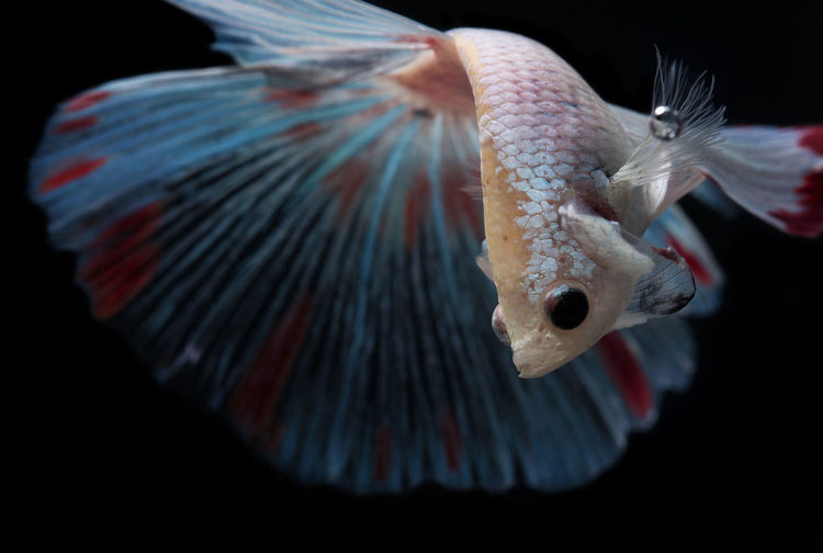 Siamese Fighting Fish Animal Themes Black Background Close-up Day Fighting Fish Fish Indoors  No People One Animal Siamese Fighting Fish UnderSea