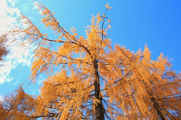Beauty in Nature Pine Tree Beauty Landscape Countryside Rural Rural Scene Beautiful Wonderful Colorful Photography Shoot ASIA Nature Nature Photography China Tree Area Tree Branch Autumn Blue Change Sky Close-up Plant Life Blooming Leaves In Bloom Pine Woodland