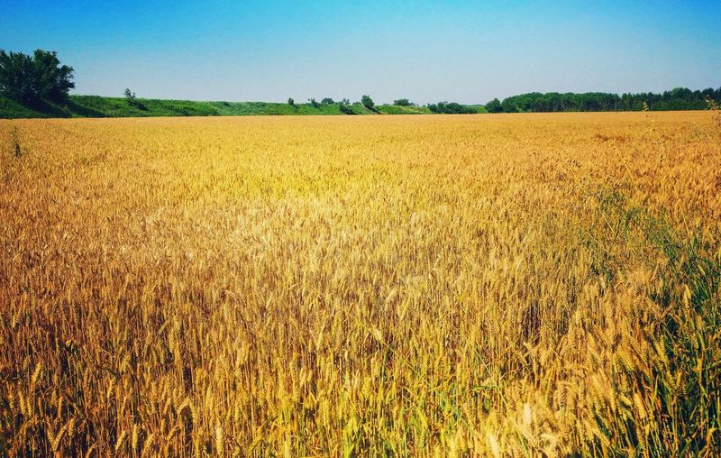 Agriculture Field Rural Scene Crop  Growth Day Cereal Plant Outdoors Sky Nature No People Tree Food