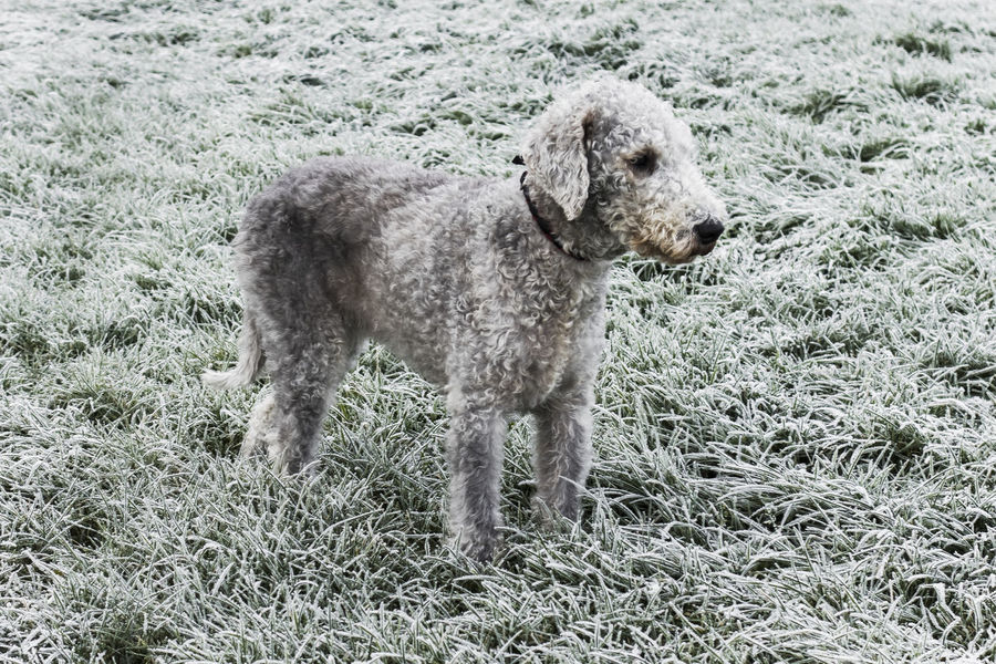 a Bedlington terrier stands in a frozen Winter field. Bedlington Terrier Field One Dog Winter Animal Themes Day Dog Female Grass Mammal Nature No People One Animal Outdoors