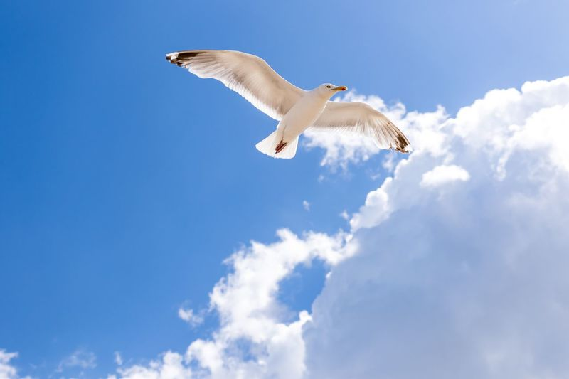 Neuharlingersiel, North Germany One Animal Flying Spread Wings Bird Animal Themes Low Angle View Animals In The Wild Day Sky Seagull Cloud - Sky Mid-air Nature Animal Wildlife Outdoors No People Blue Beauty In Nature Bird Of Prey