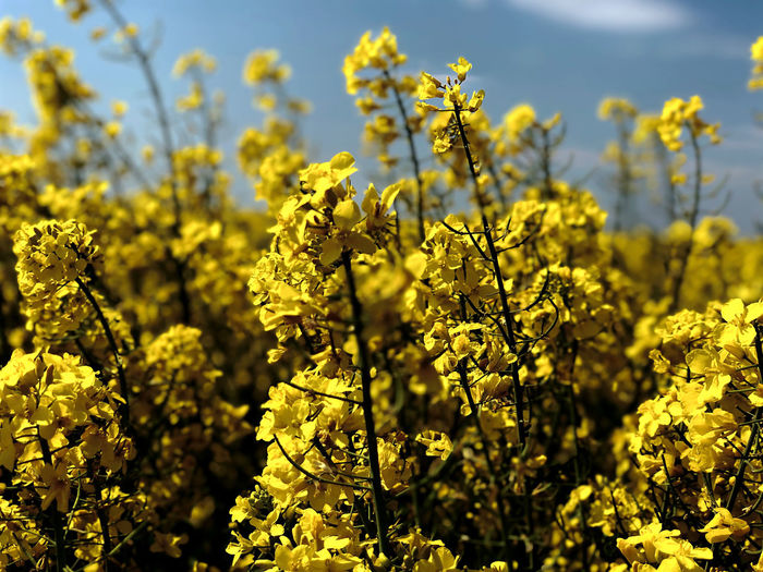 Close-up of fresh yellow flowering plants in field