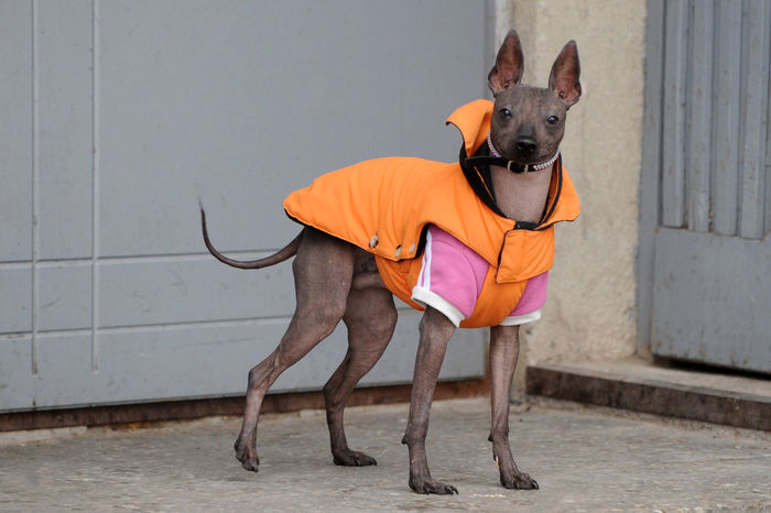 Mexican Hairless Dog Tepeizeuintli Canine Day Dog Domestic Domestic Animals Footpath Full Length Looking Mammal No People One Animal Pet Clothing Pets Standing Vertebrate Wall Wall - Building Feature Xoloitzcuintli