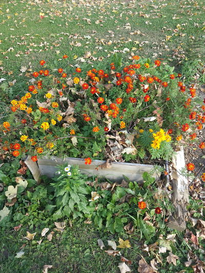 Plant Marigolds Flower Bed Fall Outdoors Flowers Orange Flower