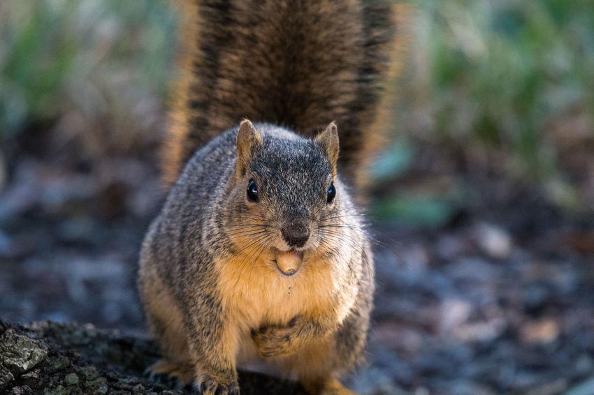 Animal Animal Themes Animal Wildlife Animals In The Wild Close-up Day Focus On Foreground Mammal Nature No People One Animal Outdoors Squirrel