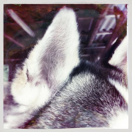 Animal Nose Animal Themes Auto Post Production Filter Cat Close-up Day Domestic Animals Domestic Cat Focus On Foreground Husky Laziness Mammal No People One Animal Pets Resting Transfer Print Whisker Zoology