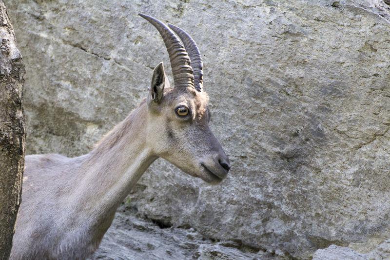 Steinbock Alpine Ibex Steinbock Wildlife & Nature Wildlife Photography Stambecco Valle D'aosta Wildlife Young Mammal