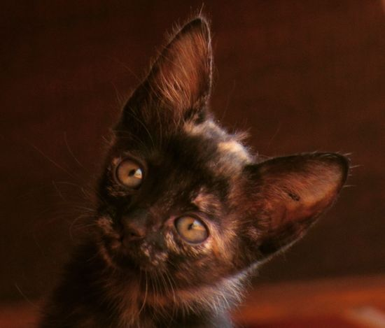 Pets Domestic Animals Animal Themes Tortoiseshell Cat Animal Eye Whisker Domestic Cat