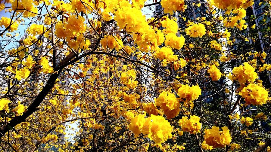 Tabebuia chrysotricha in H.K. Yellow Tabebuia Chrysotricha Full Frame Yellow Backgrounds Beauty In Nature Nature No People Outdoors Close-up