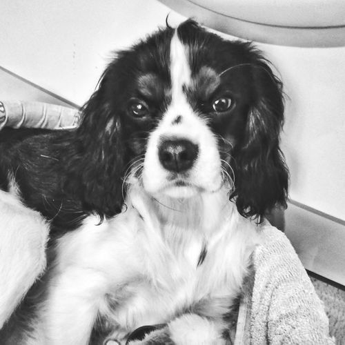 Dog Cavailerkingcharles Beetlejuice Juicy Photo Lovely Black & White щенок маленькаясобакавсегдащенок собака пес Cute Puppy❤ пупс Spb Spb_live Photography Spb_live Cute Doggy Babydog малыш Собачек Love замри!) Kingcharlesspaniel
