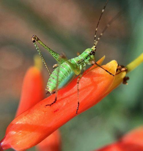 Be patient young grasshopper ;) Grasshopper Aloe Flower Orange Green Macro IPhone Olloclip IPS2016Closeup