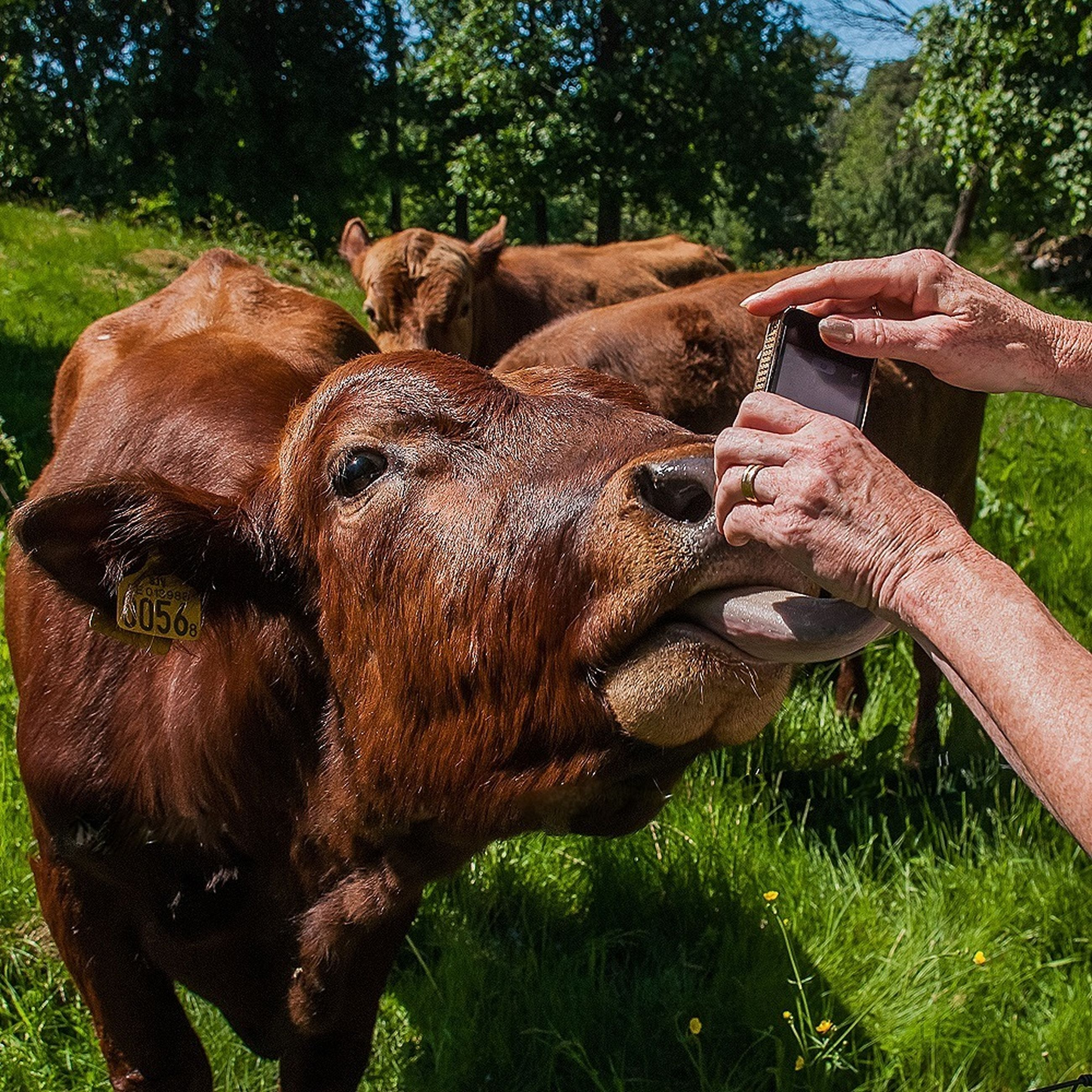 grass, tree, field, animal themes, sunlight, mammal, grassy, one animal, day, outdoors, nature, part of, close-up, one person, livestock, domestic animals, growth, brown, relaxation