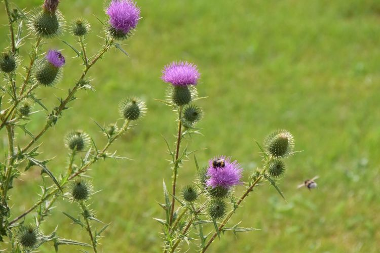 thisles and humble bees Flower Thistle Plant Botany Flower Head Humble-bee Beauty In Nature Nature_collection Nature Photography Purple Outdoors Nature Field Nikon