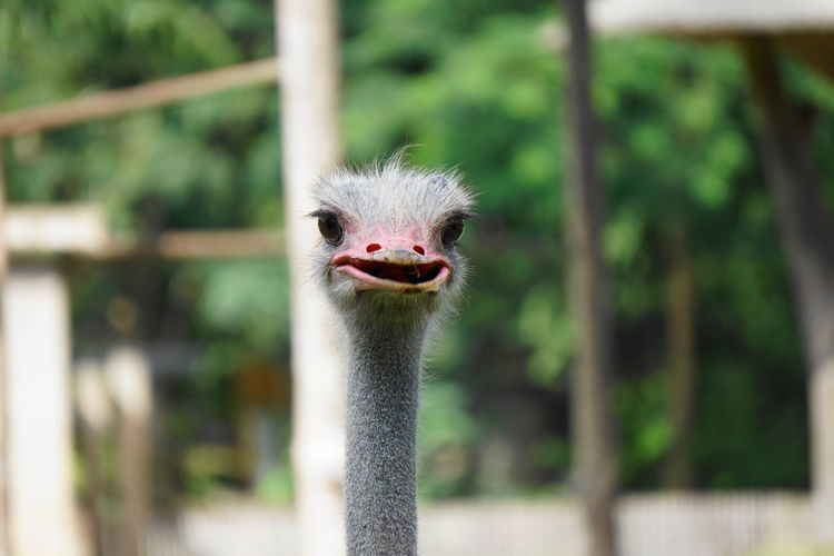 Cute ostrich Ostrich Animal Animal Themes Animal Wildlife Vertebrate One Animal Bird Animal Head  Animals In The Wild Focus On Foreground Portrait Animal Body Part No People Close-up Looking At Camera Zoo Day Nature Animals In Captivity Beak Outdoors Animal Neck Mouth Open Zoo Animals  Zoophotography
