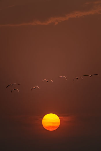Flock of birds flying against orange sky