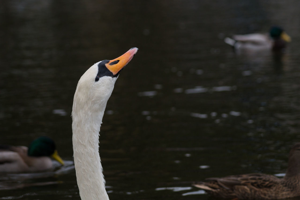 animals in the wild, animal themes, bird, one animal, animal wildlife, beak, focus on foreground, day, outdoors, swan, nature, no people, swimming, close-up