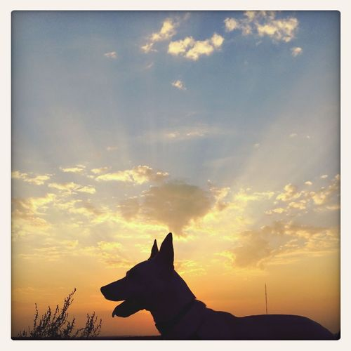 Silhouette of dog at sunset