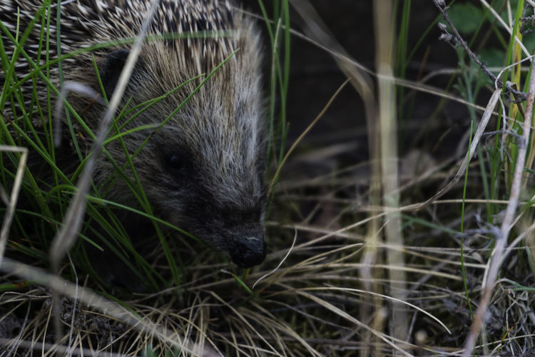 Animal Head  Igel Nature Outdoors