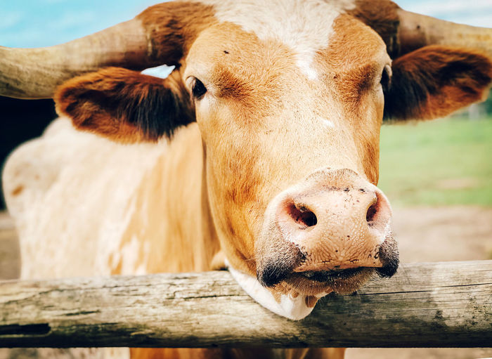 Close-up of cow in pen