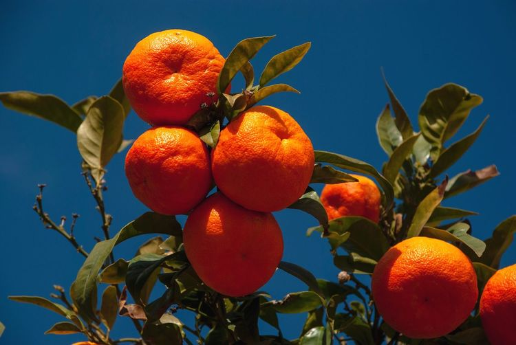 Fresh clementines on tree Mallorca SPAIN Spanish Balearic Islands Ripe Fresh Clementines Healthy Eating Fruit Food And Drink Food Wellbeing Citrus Fruit Freshness Tree Plant Plant Part Leaf Nature No People Growth Orange Color Sky Low Angle View Fruit Tree Orange - Fruit Orange