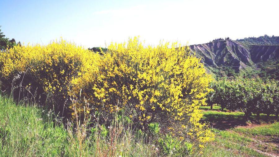 ginestre Ginestre Yellow Field Flower Rural Scene Agriculture Sky Grass Landscape Sunflower Farmland