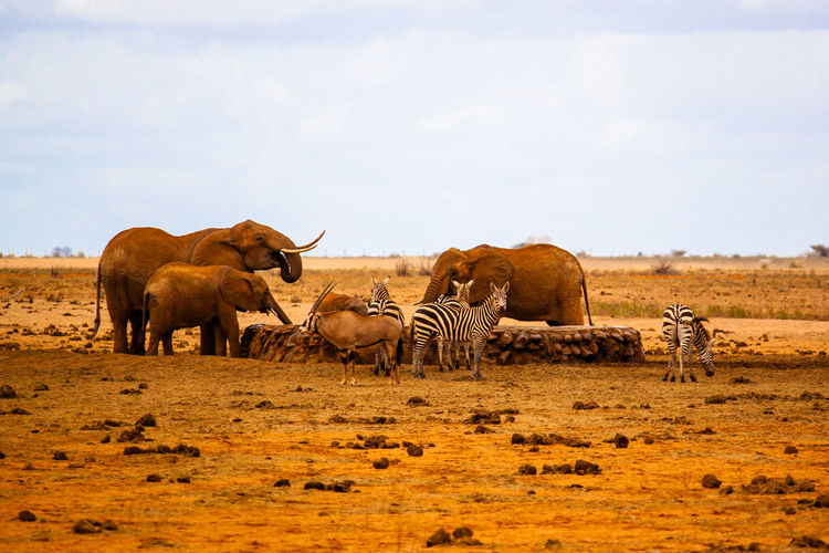 Mammals by water well on field against sky at tsavo east national park