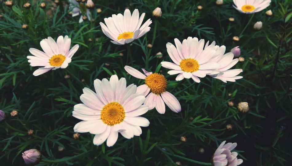 Flower Flower Head Growth Blooming Daisy Pink Daisy