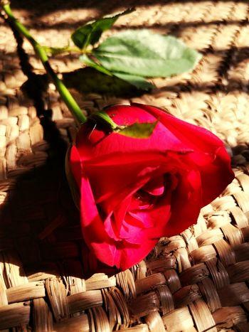 Rosebud In Bloom Vibrant Color Plant Romance Romantic Rosé Love