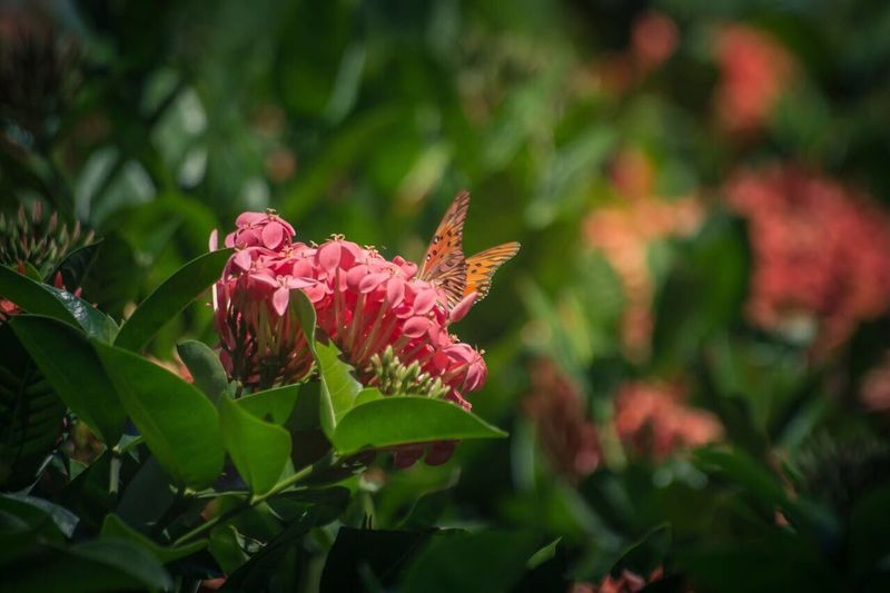 Flower Nature Fragility Growth Petal Pink Color Beauty In Nature Plant Flower Head Freshness Leaf No People Outdoors Blooming Day Green Color Close-up One Animal Animal Themes Rhododendron Butterfly Butterfly - Insect