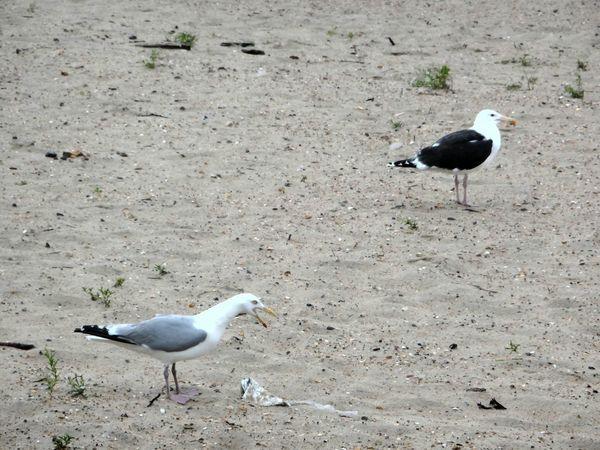 Bird Animals In The Wild Animal Themes Animal Wildlife Sand Seagull Beach Day Nature Outdoors No People Nordsee Northsea Strand Scenics Two Animals Seaside Seemöwe Seemöwen