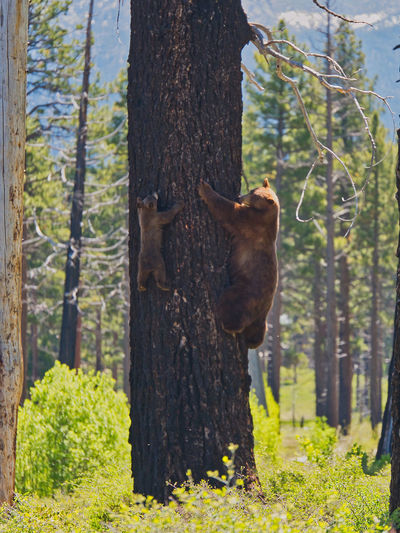 Animal Animal Themes Animal Wildlife Animals In The Wild Bear Cub Bear In Tree Climbing Day Domestic Animals Forest Full Length Herbivorous Land Mammal Nature No People One Animal Outdoors Plant Tree Tree Climbing Tree Trunk Trunk Vertebrate WoodLand