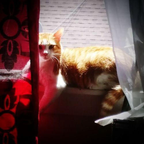 Newnew my shy elusive baby ...sunning himself....💛💚💛💚💕💕Domestic Cat Domestic Animals Pets Animal Themes Mammal Feline One Animal Looking At Camera No People Portrait Cat Indoors  Tabbylove Tabbycatsofinstagram Pet Portraits