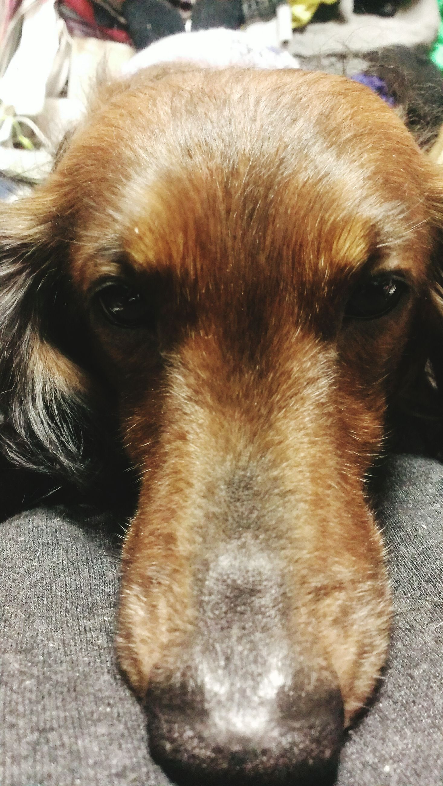 animal themes, dog, domestic animals, pets, mammal, one animal, animal head, close-up, brown, relaxation, animal body part, indoors, portrait, loyalty, puppy, looking at camera, no people, focus on foreground, resting, canine