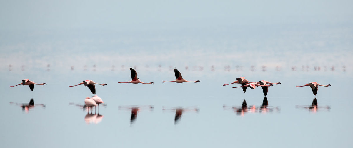 Flamingos in flight. Flying flamingos over the water of Natron Lake. Lesser flamingo. Scientific name: Phoenicoparrus minor. Tanzania. Bird Animals In The Wild Animal Wildlife Animal Themes Group Of Animals Vertebrate Animal Water Large Group Of Animals Lake Waterfront Nature Beauty In Nature No People Flying Day Reflection Flock Of Birds Natron Lake Nature Flamingos Africa Fauna Flight Bird In Flight
