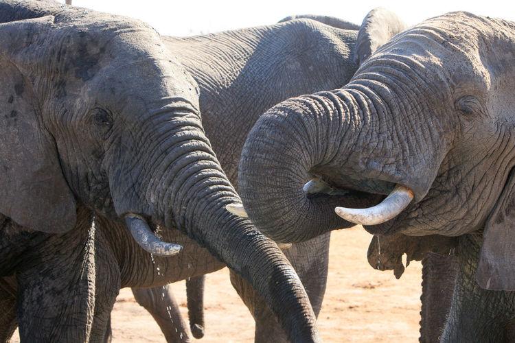 Animal Wildlife Animal Animals In The Wild Animal Themes Mammal Nature No People Day Group Of Animals Elephant Animal Body Part Animal Trunk Safari Two Animals Outdoors Animal Family Animal Head  Big Five