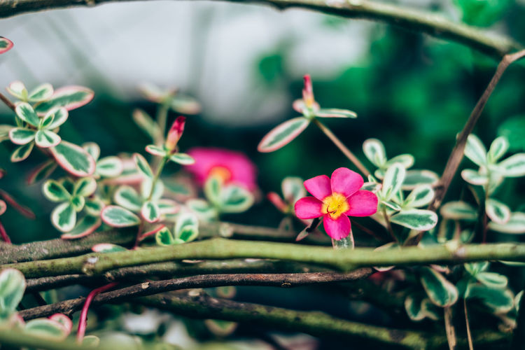 Copy Space Gardening Backgrounds Beauty In Nature Blooming Branch Close-up Day Flower Flower Head Fragility Freshness Full Frame Green Color Growth Leaf Little Flowers Nature Outdoors Petal Pink Color Plant Purslane Selective Focus Wild Springtime Decadence