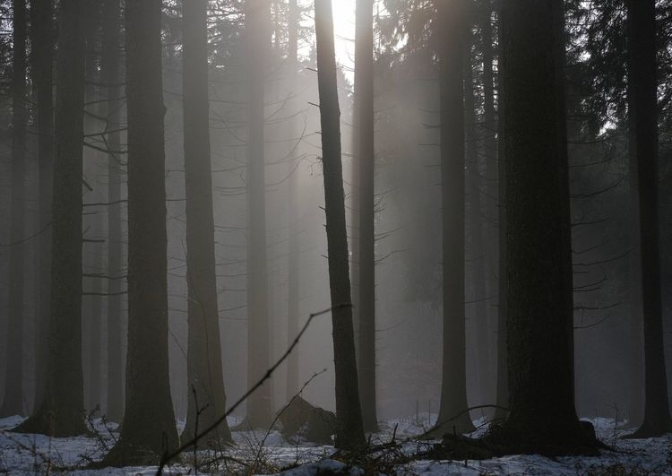 Tree Forest Trunk Tree Trunk WoodLand Cold Temperature Winter No People Hazy  Snow Outdoors