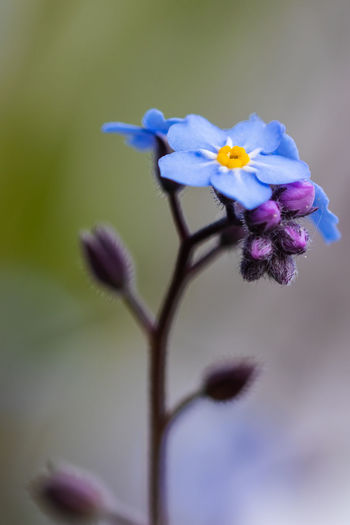 Myosotis Vergissmeinnicht (Myosotis) Beauty In Nature Blossom Close-up Day Flower Flower Head Flowering Plant Focus On Foreground Forget-me-not Nature No People Petal Plant Springtime Vergissmeinnicht