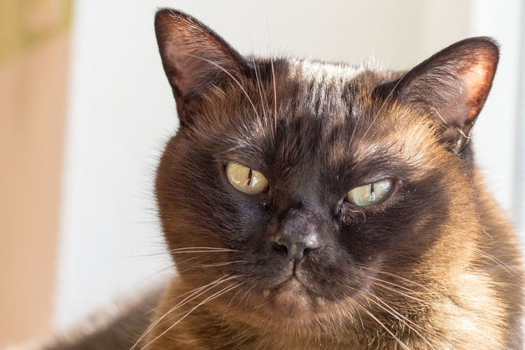 Portrait of a big male cat - mix of British Shorthair and Burma Animal Themes Cat Cat Lovers Cats Cat♡ Close-up Day Domestic Animals Domestic Cat Feline Focus On Foreground Home Interior Indoors  Looking At Camera Mammal No People One Animal Pets Portrait Siamese Cat Whisker
