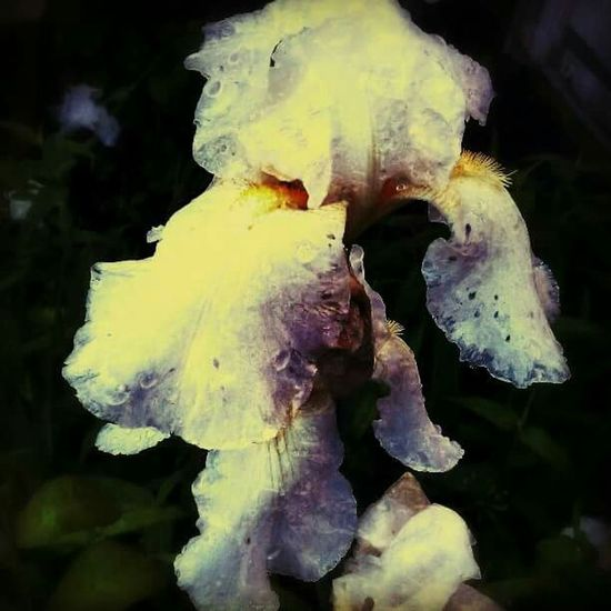 Ancphotography & Art Photography Floral Perfection Flower Spring Art Iris Flower Photography