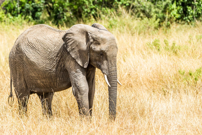 African Elephant Animal Animal Themes Animals In The Wild Day Elephant Grass Mammal Nature No People Outdoors