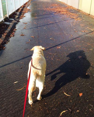 Walkies Labrador Shadow Path Miltonbiscuit Ilovemydog
