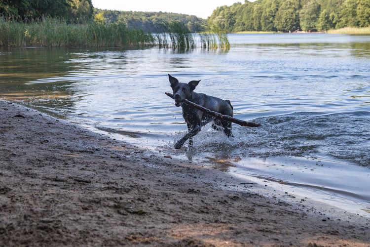 Dog running in a lake