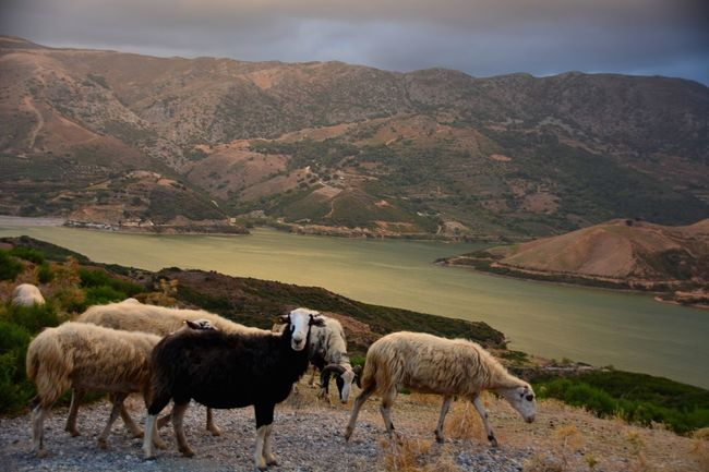 Crete Crete Greece Creta Kreta Greece Griekenland Sheep Sheeps Schaap Lake Lake View Meer Nature Photography Nature Natuur Natuurfotografie Nikon Nikonphotography Nikon D7100