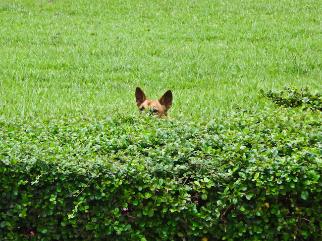me and my friend were at the Royal Garden in Siem Reap when I saw this head peaking in the bush. I quickly got my camera and after one shot he rans away. Lucky shot! Dog Hide And Seek Hanging Out Luck Shot Royal Garden EyeEm Best Shots From My Point Of View Fresh On Market July 2016 Eyeemphotography