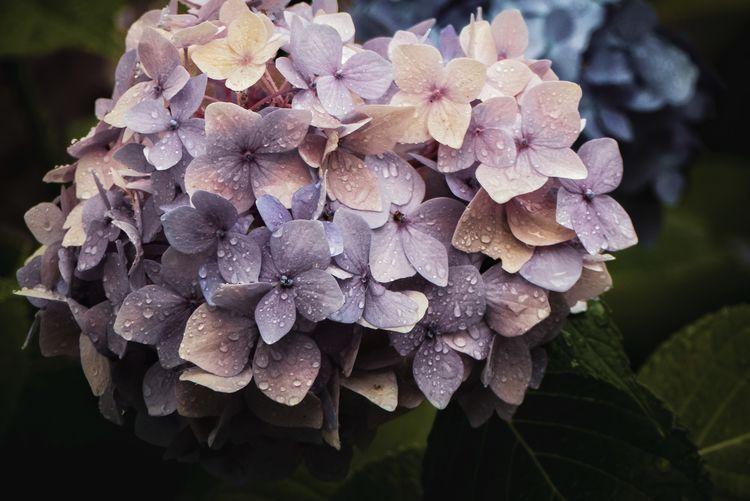 Close-up of wet purple hydrangea
