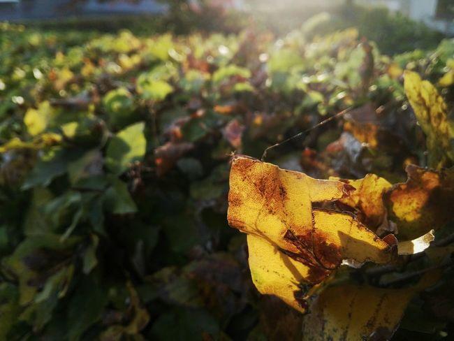 Golden Leaf Focused On Foreground Focused Lichtspiel Der Seidene Faden Herbstfärbung Natural Structure Struktur Structures & Lines Patterns In Nature Vibrant Color Maximum Closeness