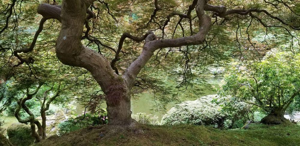 Japanese Tea Garden Water Greenery Tree Trunk Branches Day Tree Branch Tree Trunk Forest Sky Green Color Leaves Growing Plant Life Tranquility Calm Tranquil Scene