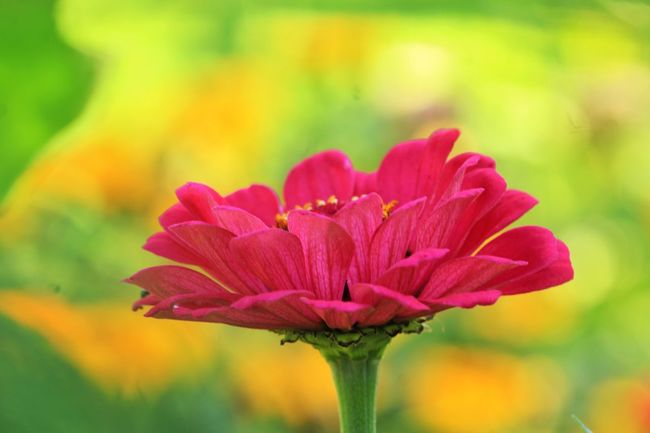 Focus On Foreground Beauty In Nature Blooming Flower Zinnia  Close-up Pink Color Petal Outdoors Day