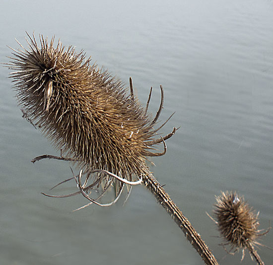 Plant Beauty In Nature Close-up Day Dried Plant Flower Nature No People Outdoors Prickles Seed Head Teazel Water Wild Plant